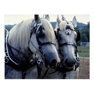 Buddies, horse team postcard