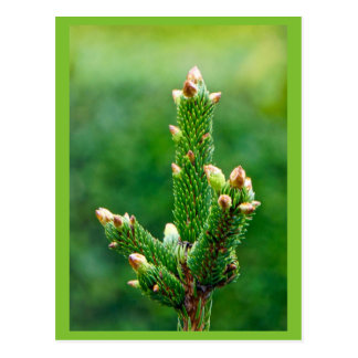 Budding Christmas Tree Postcard
