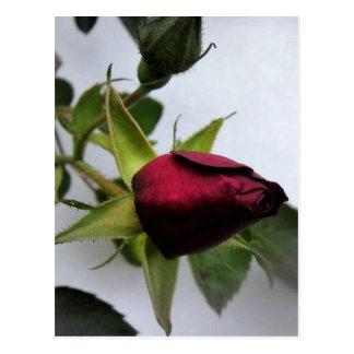 BUDDING ROSE! POSTCARDS