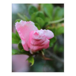 Budding Spring Rose Post Card