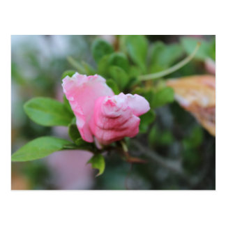 Budding Spring Rose Post Card