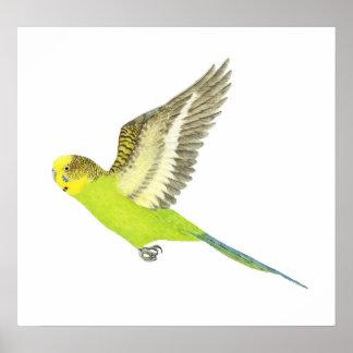 Budgerigar flying - Melopsittacus undulatus Poster