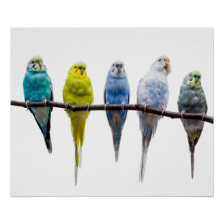 Budgie Birds Poster
