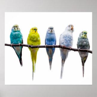 Budgie Birds Poster