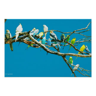 Budgies and Cockatiels Poster