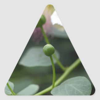 Buds of the caper bush, Capparis spinos. Triangle Sticker