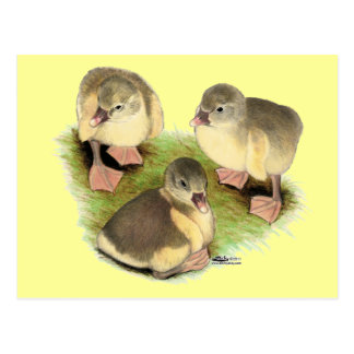 Buff Pomeranian Goslings Postcard