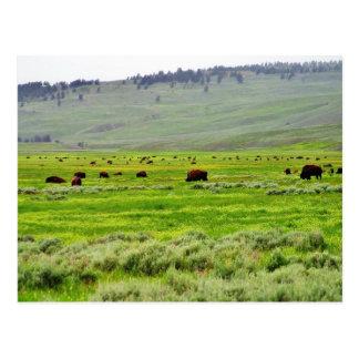 Buffalo Field Postcard