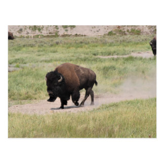 Buffalo on the move, Photography Postcard
