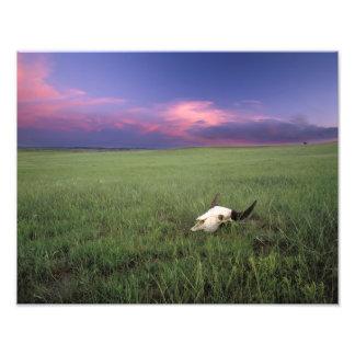 Buffalo Skull in Prairie Grass near Medora Photo Print