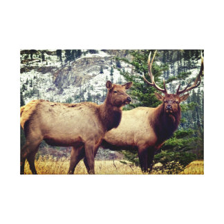 Bull and Cow Elk Canvas Print
