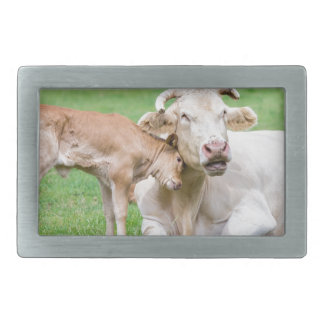 Bull calf loves mother cow in meadow belt buckles