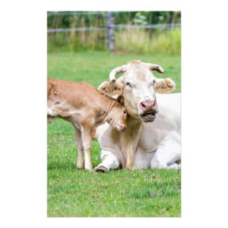 Bull calf loves mother cow in meadow customized stationery
