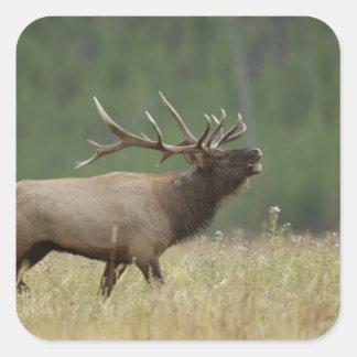 Bull Elk bugling, Yellowstone NP, Wyoming Square Sticker