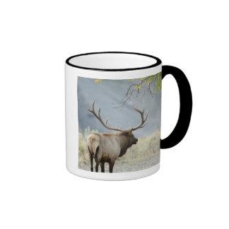 Bull Elk, Cervus canadensis, in the Ringer Mug