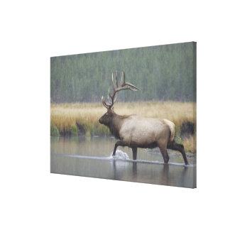 Bull Elk crossing river in snowstorm, Gallery Wrap Canvas