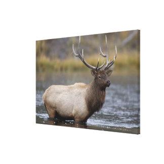bull elk crossing river, Yellowstone NP, Wyoming Canvas Print