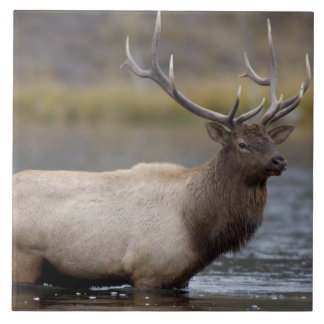 bull elk crossing river, Yellowstone NP, Wyoming Ceramic Tile
