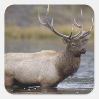 bull elk crossing river, Yellowstone NP, Wyoming Square Sticker