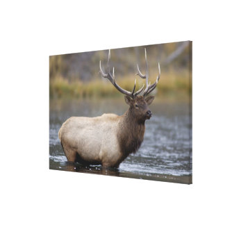 bull elk crossing river, Yellowstone NP, Wyoming Stretched Canvas Print