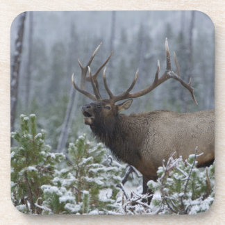 Bull Elk in snow calling, bugling, Yellowstone Coaster