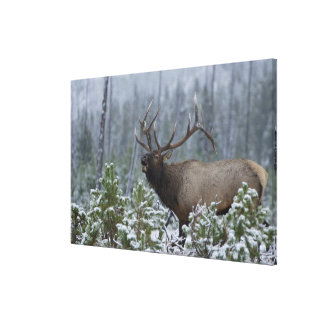 Bull Elk in snow calling, bugling, Yellowstone Gallery Wrapped Canvas