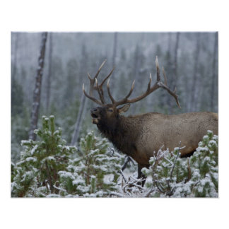Bull Elk in snow calling, bugling, Yellowstone Poster