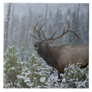Bull Elk in snow calling, bugling, Yellowstone Tile