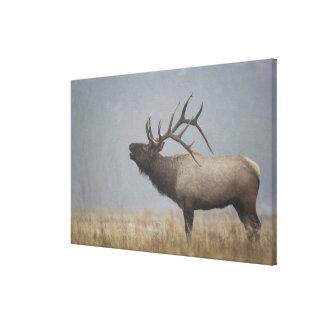 Bull Elk in snow storm calling, bugling, Canvas Print