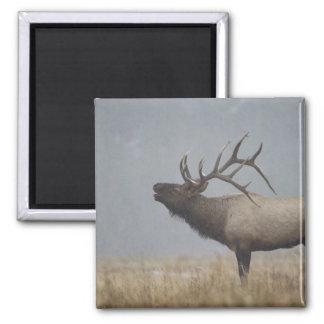 Bull Elk in snow storm calling, bugling, Magnet