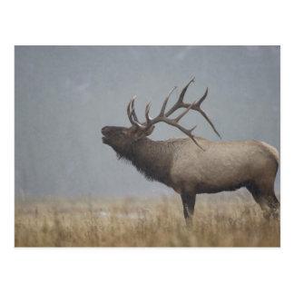 Bull Elk in snow storm calling, bugling, Postcard