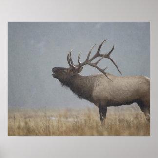 Bull Elk in snow storm calling, bugling, Poster