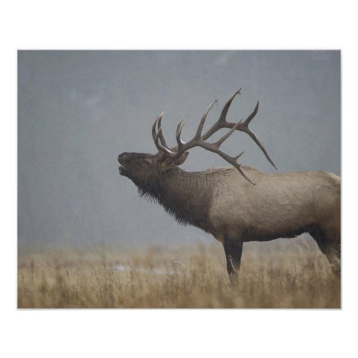 Bull Elk in snow storm calling, bugling, Print