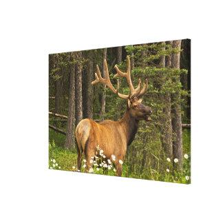 Bull elk in velvet, Canada Canvas Print