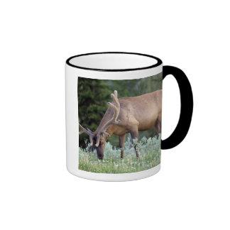 Bull Elk with antlers in velvet grazing in Ringer Mug