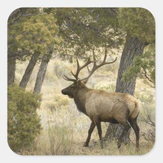 Bull Elk, Yellowstone National Park, Wyoming, Square Sticker