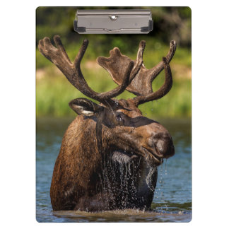 Bull moose feeding in Glacier National Park Clipboard
