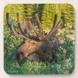 Bull moose in velvet, Colorado Coaster