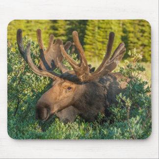 Bull moose in velvet, Colorado Mouse Pad
