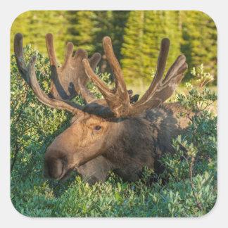 Bull moose in velvet, Colorado Square Sticker