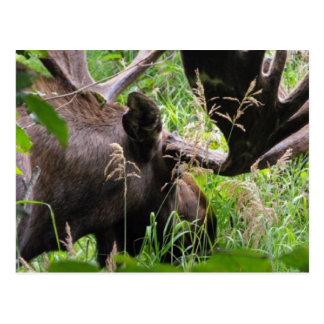 Bull Moose Postcard