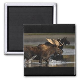 Bull Moose Square Magnet