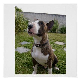 bull terrier brindle sitting poster
