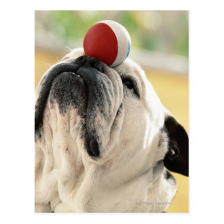 Bulldog balancing ball on snout, close-up postcard