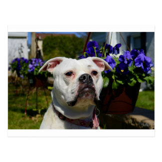 Bulldog Flowers Postcard