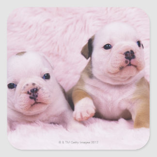 Bulldog; often called the English Bulldog. Is a Sticker