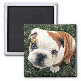 Bulldog Puppy Magnet