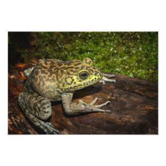 Bullfrog, Rana catesbeiana Photo Print