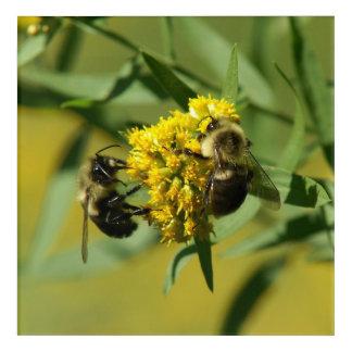 Bumble Bee, Acrylic Print. Acrylic Wall Art