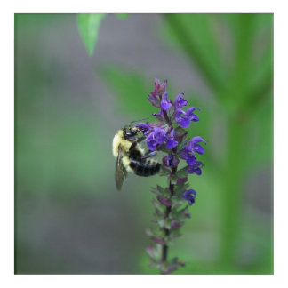 Bumble Bee and Flower, Acrylic Print. Acrylic Print